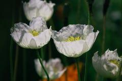 White wild poppies royalty free stock photos