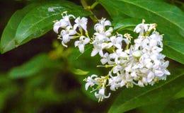 White wild privet flowers royalty free stock photo