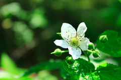 White wild raspberry flower in the forest Royalty Free Stock Images