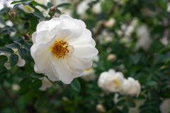 White wild Rose on the Branch. In the Garden Stock Photos