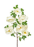 White wild rose branch Stock Photos
