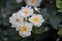White  wild rose Stock Image