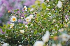 White  wild rose Royalty Free Stock Photography
