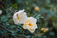 White  wild rose Stock Photos