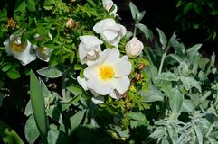 White Wild Rose with Dotted Roadside Skipper Butterfly. On the lower petal. Latin name for the flower: rosa acicularis. The butterfly is brown with white jagged Stock Images