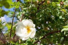 White Wild Rose Flower Hip Blossom Stock Images