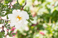 White Wild Rose Flower Hip Blossom Royalty Free Stock Photos