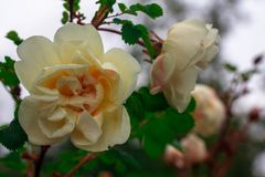 White wild rose flower after rain Stock Images