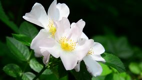 White wild rose flowers in spring stock footage