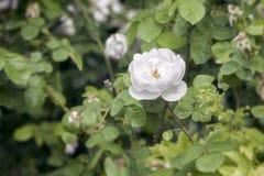 White wild rose Royalty Free Stock Image