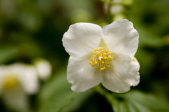 White wild rose macro Stock Image