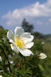 White wild rose Royalty Free Stock Photos