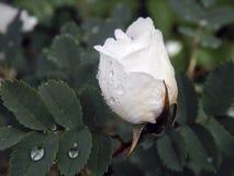 White wild rose rose after rain Royalty Free Stock Image