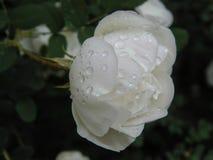 White wild rose rose after rain Stock Image