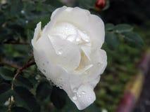 White wild rose rose after rain Royalty Free Stock Photos