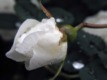 White wild rose rose after rain Stock Images