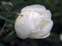 White wild rose rose after rain Royalty Free Stock Photo