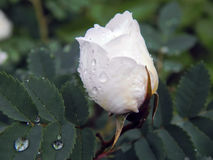 White wild rose rose after rain Royalty Free Stock Photography