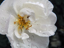 White wild rose rose after rain Stock Photography
