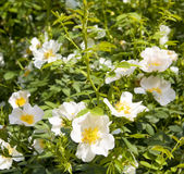 White wild roses Royalty Free Stock Photo