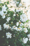 White wild roses bush with puffy flowers Stock Photography
