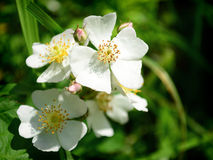 White Wild Roses Stock Photography