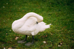 White wild swan bird on green grass Royalty Free Stock Photography