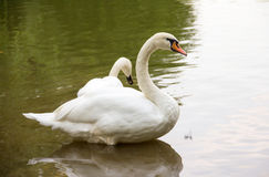 White wild swan resting on the calm surface of the water autumn day Stock Photo