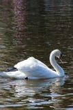 White wild swan on surface lake. White wild swan swimming on surface lake Royalty Free Stock Photography