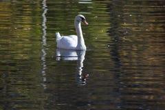White wild swan. Swimming on surface lake Royalty Free Stock Photo