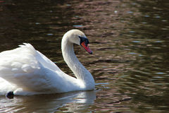 White wild swan. Swimming on surface lake Stock Photos