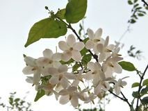 White Wild water plum, Sacred flowers bouquet. On tree, sky background stock photography