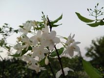 White Wild water plum, Sacred flowers bouquet on tree. In garden, sky background royalty free stock photos