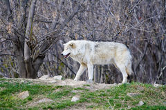 White Wild wolf in a forrest. Wild wolf in a forrest near Montreal Canada Stock Photos