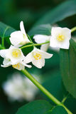 White Wildflower Royalty Free Stock Images