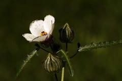 White Wildflower in the Garden. White wildflower with green background found in the garden Royalty Free Stock Photos
