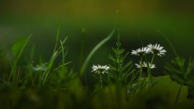 Simple white wildflowers on the field Royalty Free Stock Images