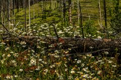 White wildflowers in burnt out forest. Banff National Park, Alberta, Canada Stock Photos