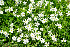 White wildflowers close view, bright green meadow, beautiful spring landscape Royalty Free Stock Image