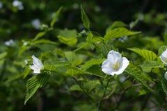 White wildflowers closeup. Royalty Free Stock Photo