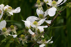 White wildflowers. A cluster of white wildflowers Stock Photo