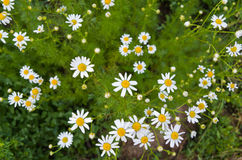 White wildflowers daisies. On the ground Stock Photos