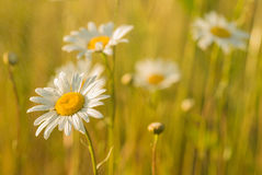 White wildflowers. White wildflowers, High green yellow grass, summer rain, all in the rays of the setting sun. Spring Stock Image