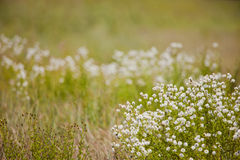 White wildflowers. Landscape photo of a field of white wildflowers royalty free stock image