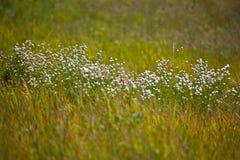 White wildflowers Royalty Free Stock Photo