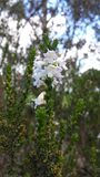 White Wildflowers. Petite white wildflowers in the Mallee area Stock Photography