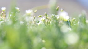 White wildflowers, spring nature background stock video