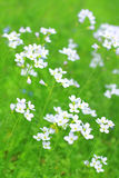 White wildflowers in springtime Royalty Free Stock Image