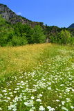 White wildflowers on summer meadow Royalty Free Stock Photo