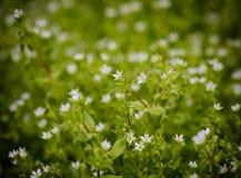 White wildflowers Stock Photos
